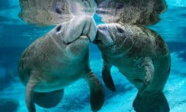Love Manatees? Then Learn How To Help Save Them From Extinction